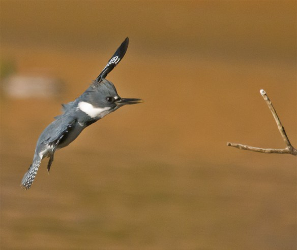 Belted Kingfisher 107
