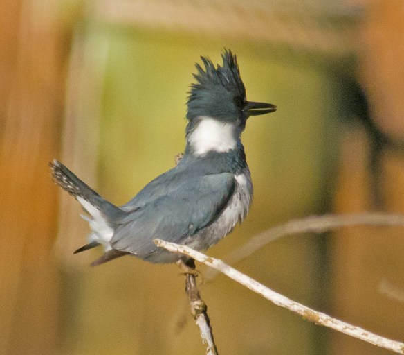 Belted Kingfisher 110