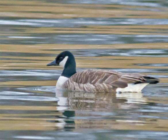 Canada Goose 101