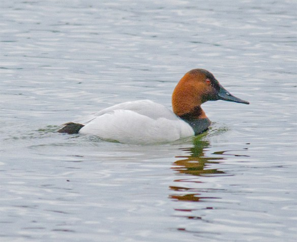Canvasback 130