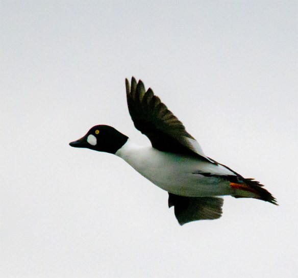 Common Goldeneye 154