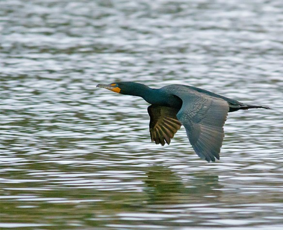 Double Crested Cormorant 91