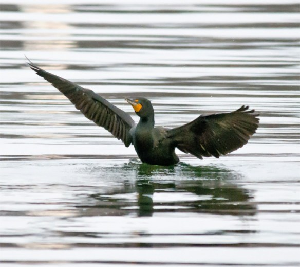 Double Crested Cormorant 94