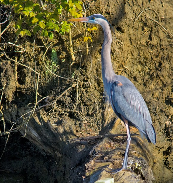 Great Blue Heron 273