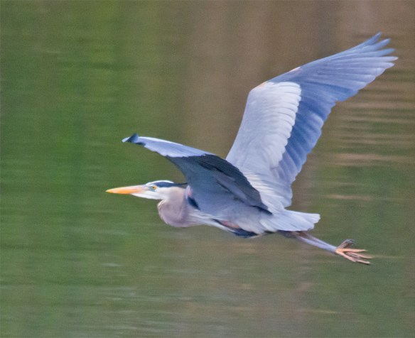 Great Blue Heron 274