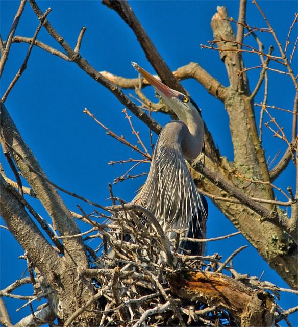 Great Blue Heron 277