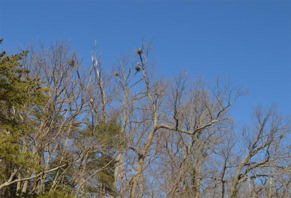 Great Blue Heron 280