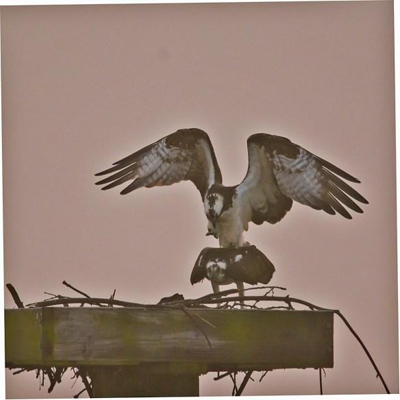 Osprey 268