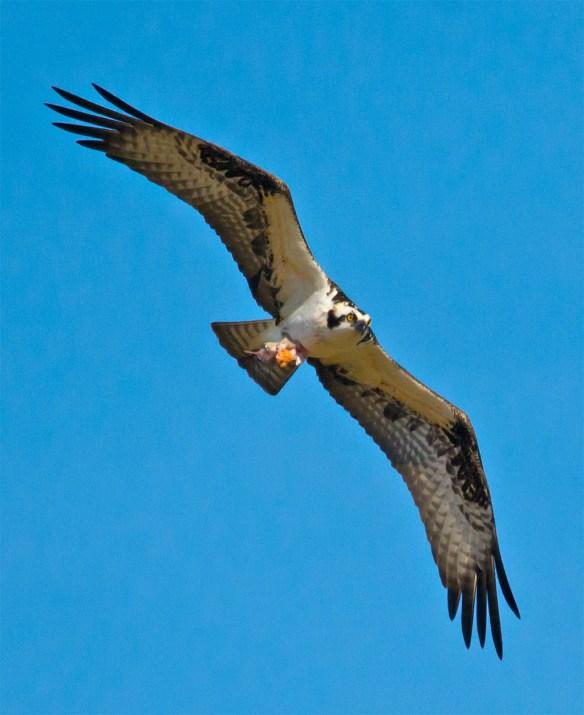 Osprey 278