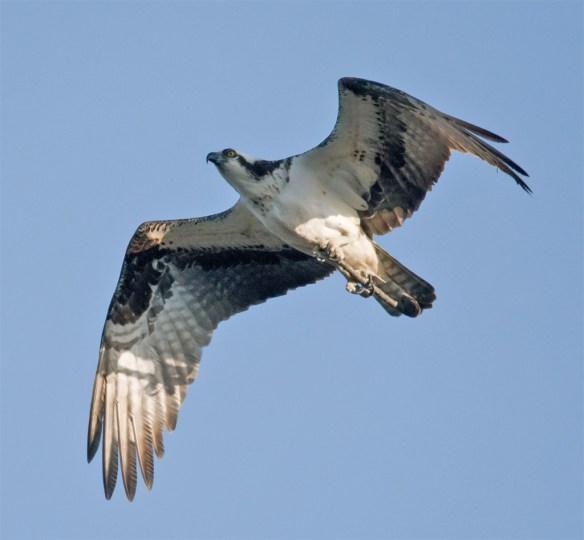 Osprey 287