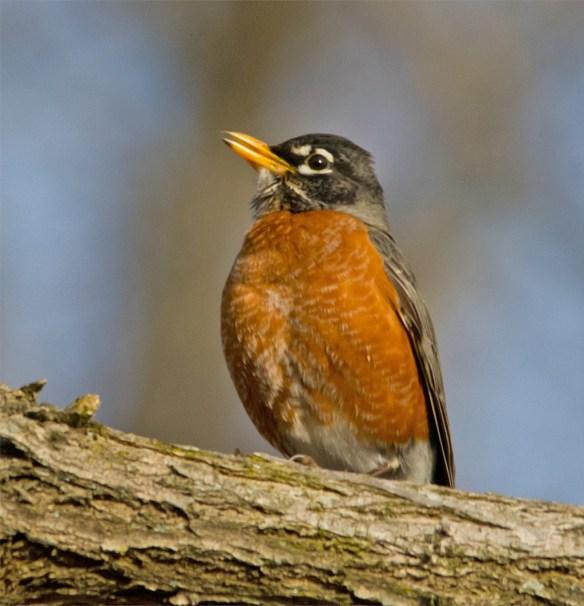 Robin 66