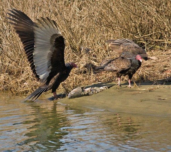 Turkey Vulture 23