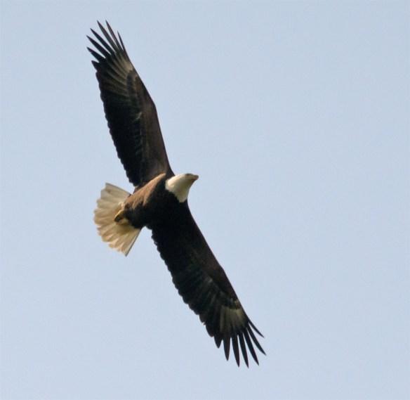 Bald Eagle 410