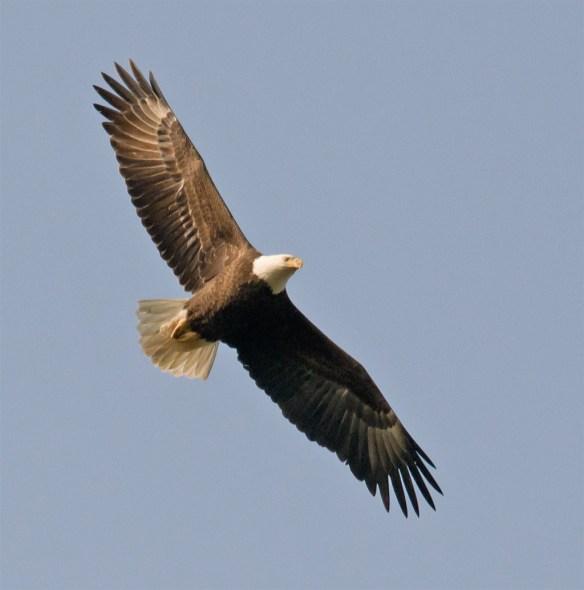 Bald Eagle 412