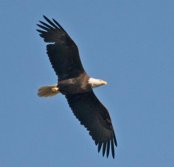 Bald Eagle 413