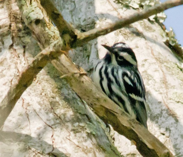 Black and White Warbler 102