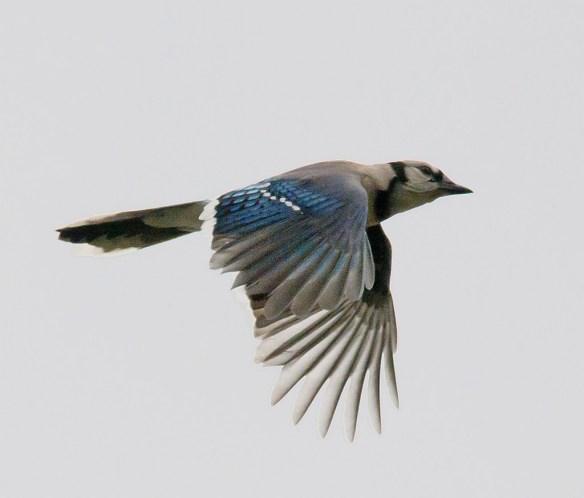Blue Jay 201