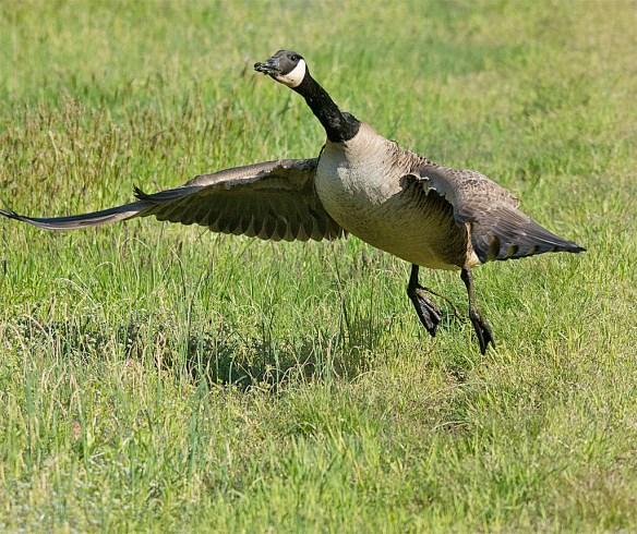Canada Goose 106