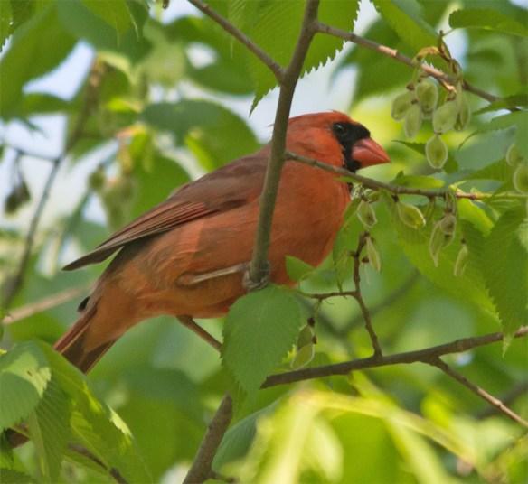 Cardinal 183