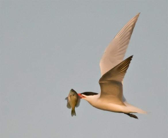 Caspian Tern 102