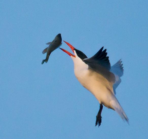 Caspian Tern 105