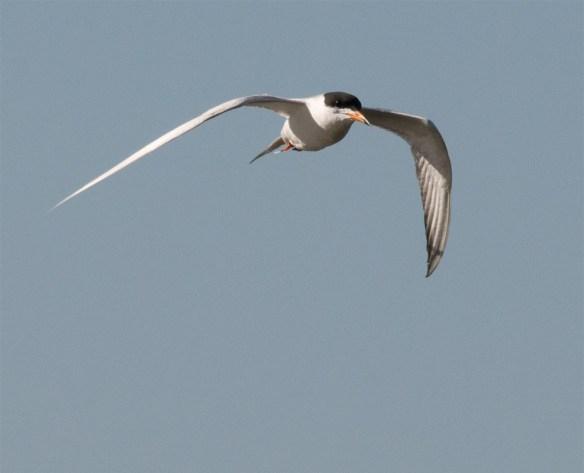 Caspian Tern 112
