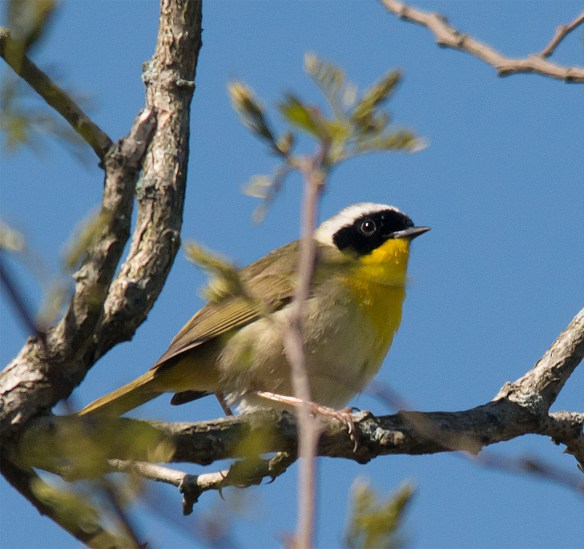 Common Yellowthroat 104