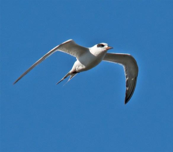 Forster's Tern 101