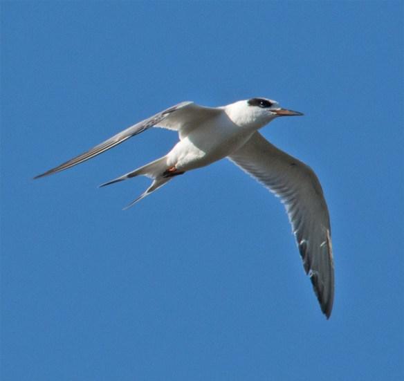 Forster's Tern 102