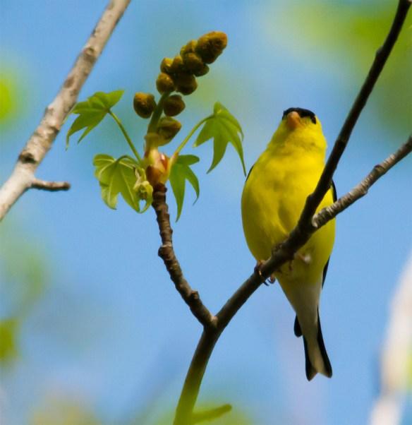 Goldfinch 201