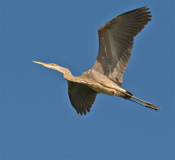 Great Blue Heron 291