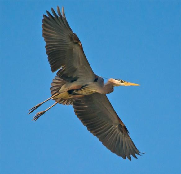 Great Blue Heron 294