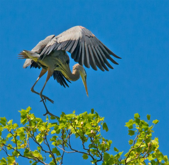 Great Blue Heron 295