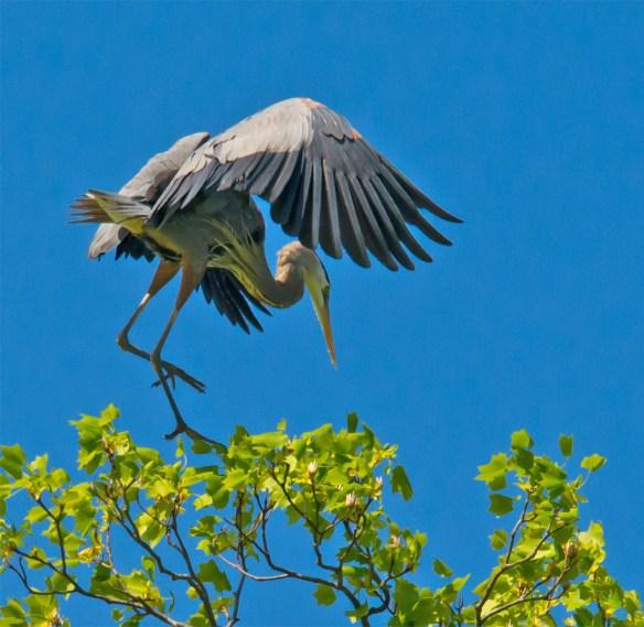 Great Blue Heron 295