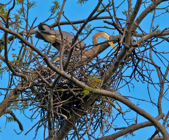 Great Blue Heron 296
