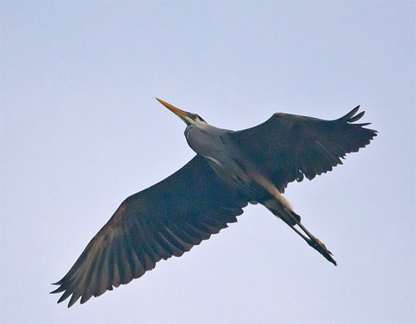 Great Blue Heron 299