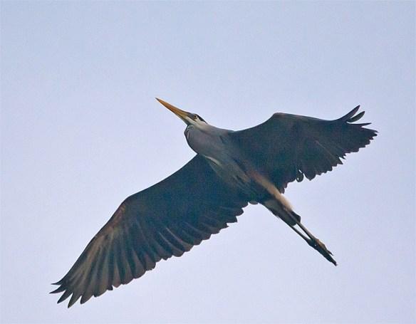 Great Blue Heron 299