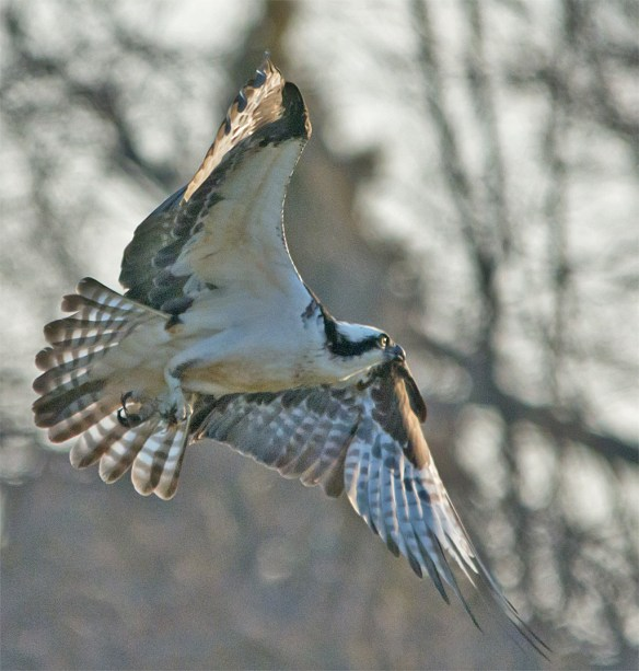 Osprey 295