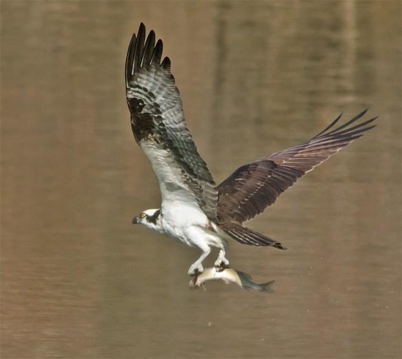 Osprey 302