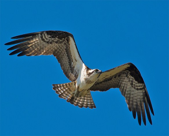 Osprey 324