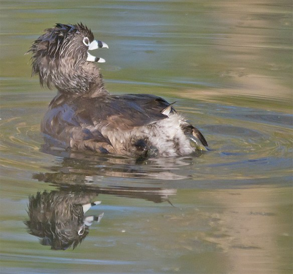 Pied Billed Grebe 102