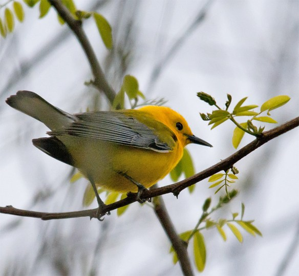 Prothonotary Warbler 107