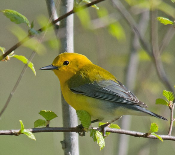 Prothonotary Warbler 109