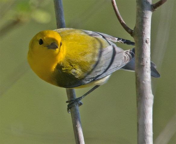 Prothonotary Warbler 111
