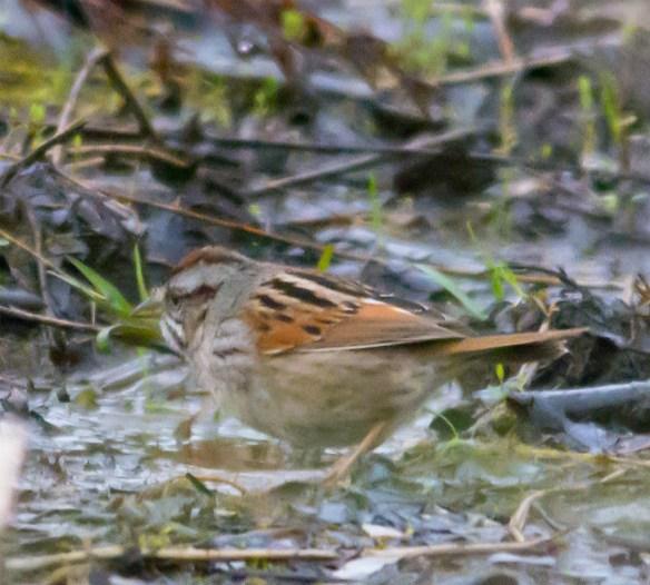 Swamp Sparrow 104