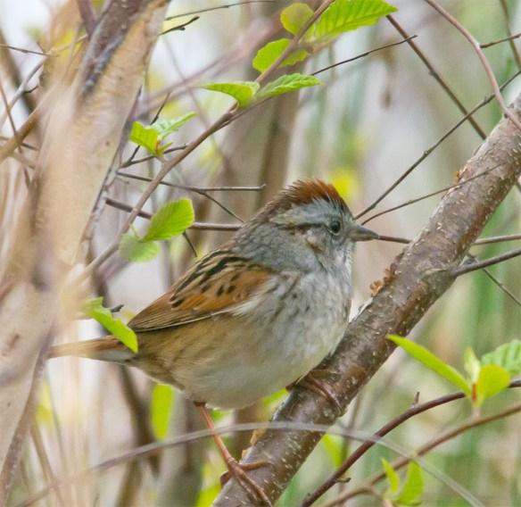 Swamp Sparrow 105