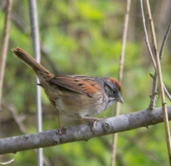 Swamp Sparrow 110
