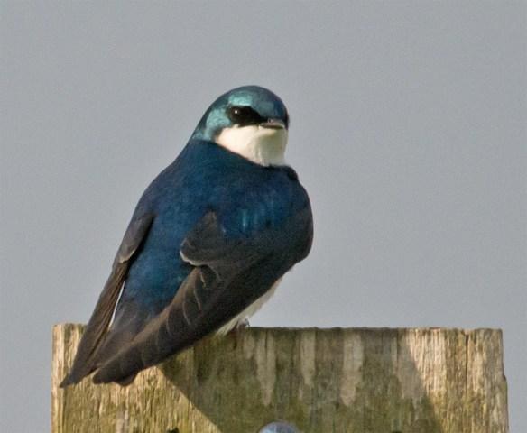 Tree Swallow 103