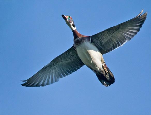 Wood Duck 216