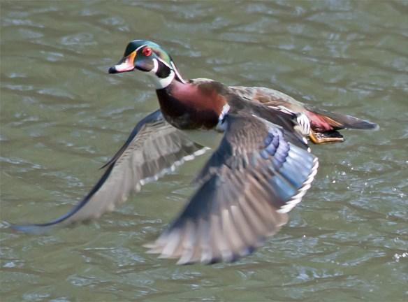Wood Duck 217